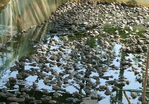 Trang trại ếch của anh Duy
