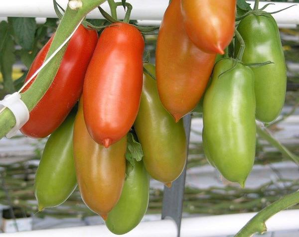 Cà chua san