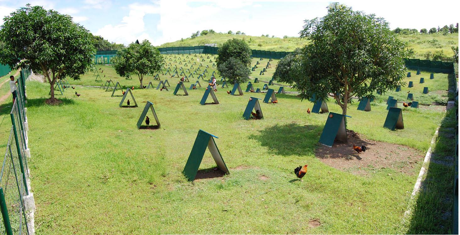 Hình ảnh một trang trại nuôi giống gà nòi