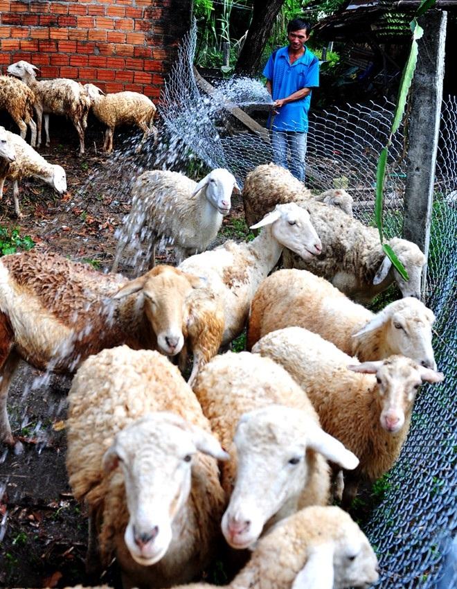 Anh Phúc bên trang trại cừu của mình