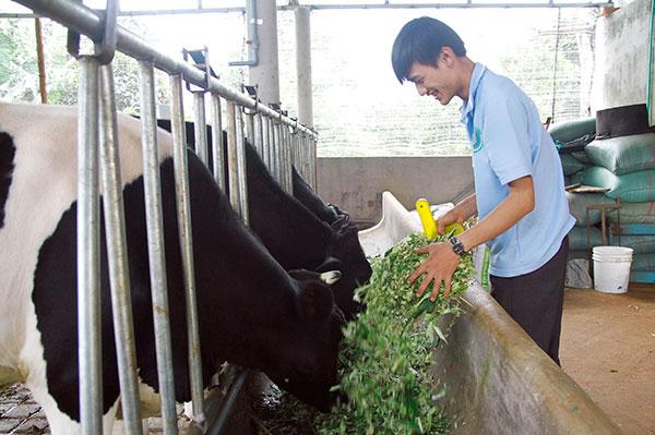 Phạm Văn Hiếu đang chăm sóc đàn bò sữa của mình