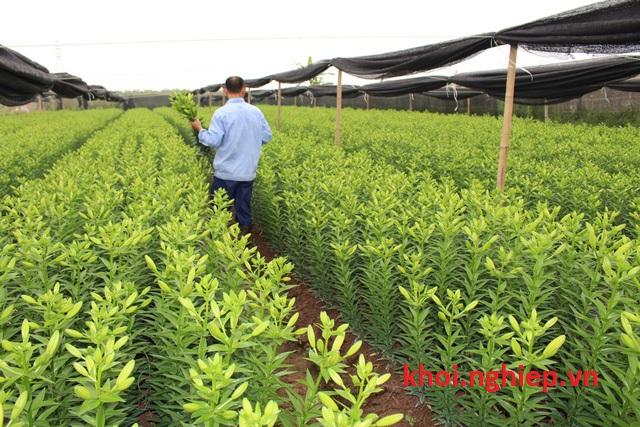 Công nhân đang chọn những bông hoa sắp nở để thu hoạch