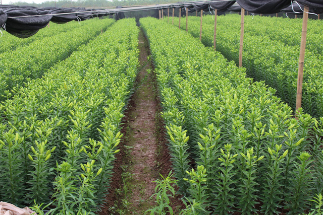 Vườn hoa ly của anh Bùi Tuấn Hải đang trong thời kỳ thu hoạch