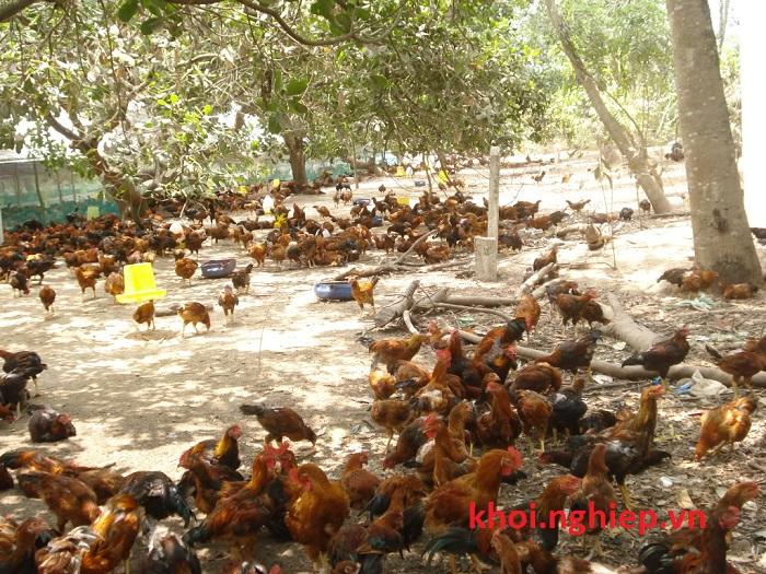Mô hình nuôi gà thả vườn rất phổ biến hiện nay