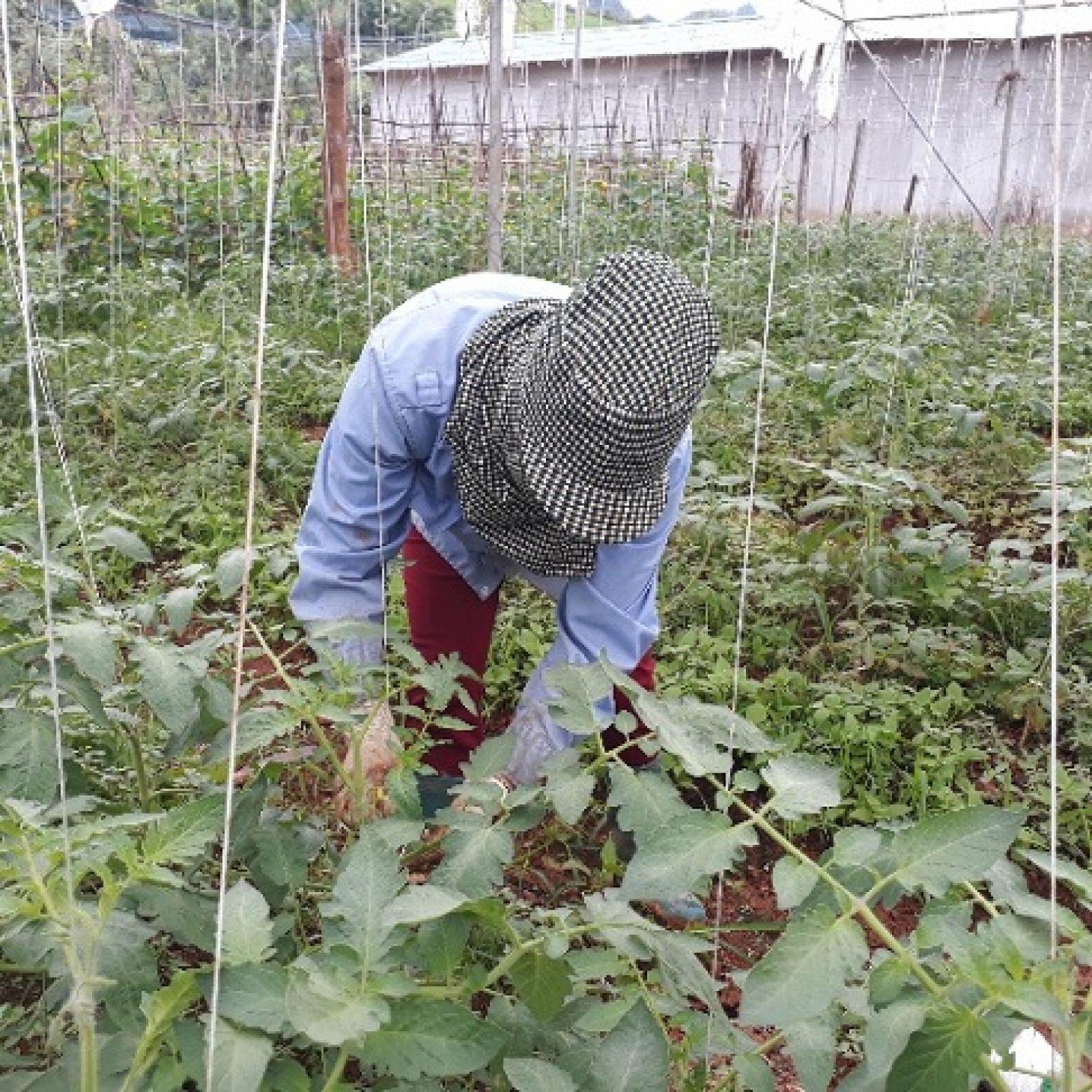 Cây cà chua phát triển tới đâu, bà May dùng dây cuốn tới đấy, giúp thân cây luôn thẳng
