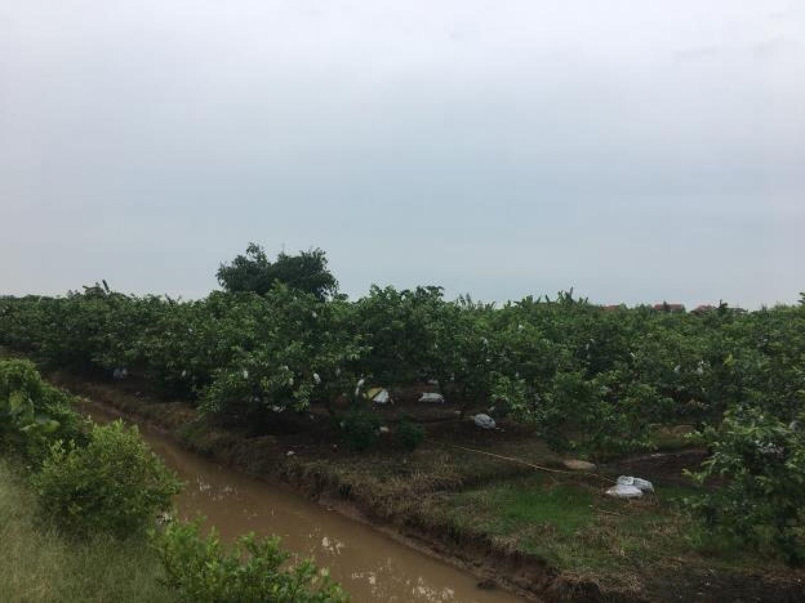 Vườn ổi của HTX Khánh Phong