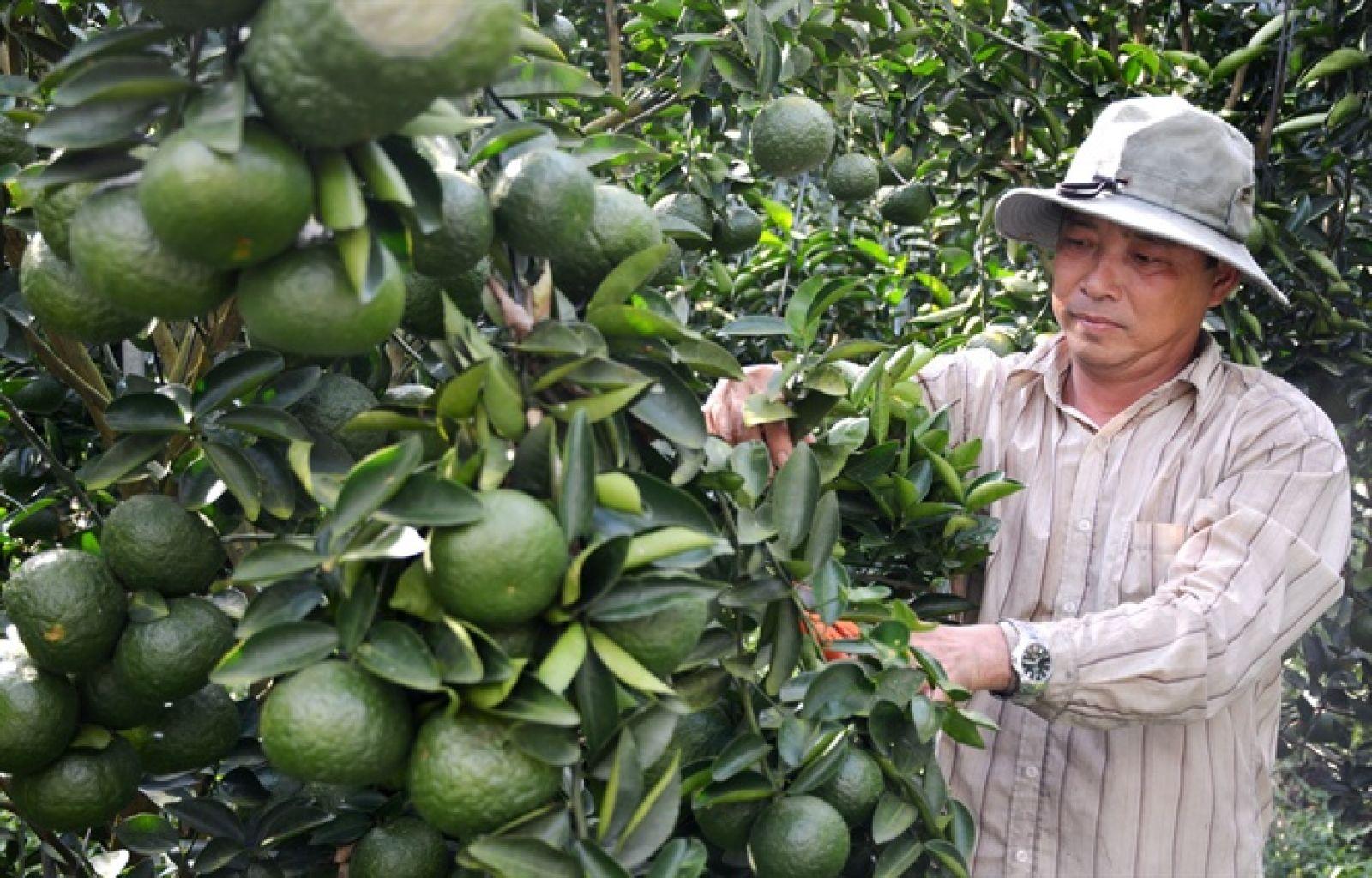 Để sản xuất thành công cam sành trên đất phèn, anh Chánh rất siêng năng và kiên trì bám trụ