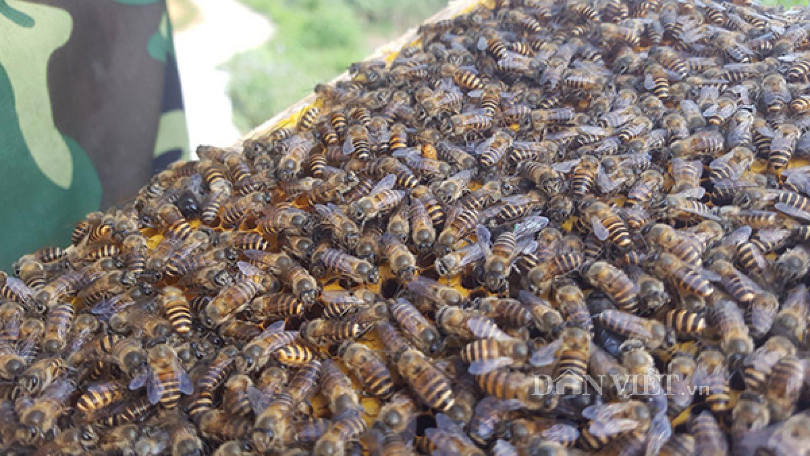 Do thường xuyên thay ong chúa nên đàn ong của trại nuôi anh Cường luôn khỏe mạnh và phát triển tốt.