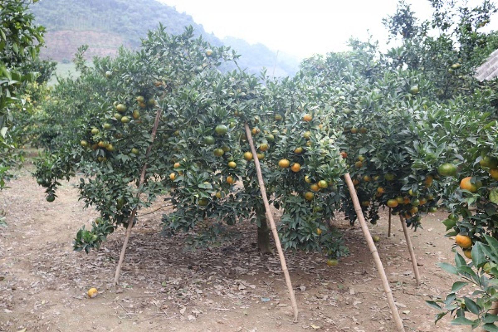 Vườn cam Canh của ông Ngọ sai trĩu quả, phải dùng sào tre để trống.