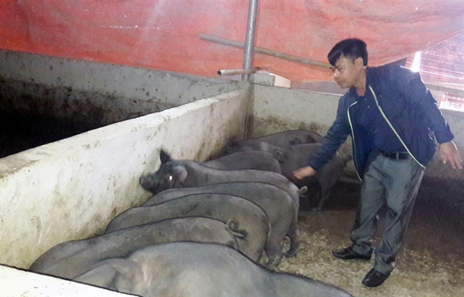 Lợn nuôi bằng thức ăn tự phối trộn, ngâm ủ men vi sinh vừa giảm chi phí đầu vào vừa có giá cao hơn ngoài thị trường