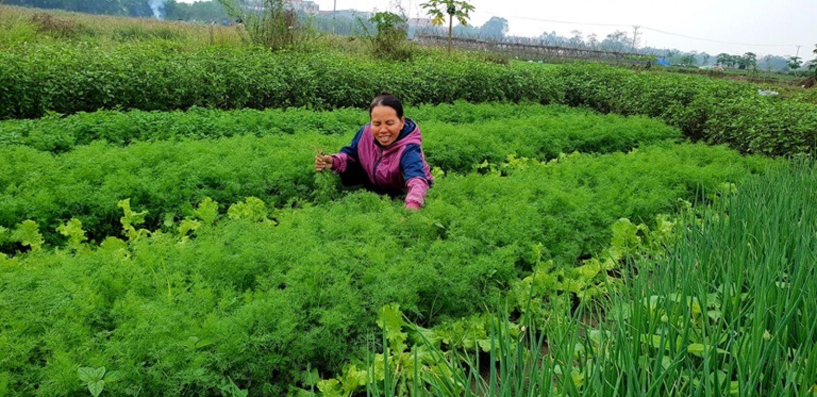 Chị Thân Thị Hà, ở thôn Phương Viên, thị trấn Thổ Tang (Vĩnh Tường) trồng 3 sào rau gia vị cho thu nhập từ 300.000 - 400.000 đồng/ngày