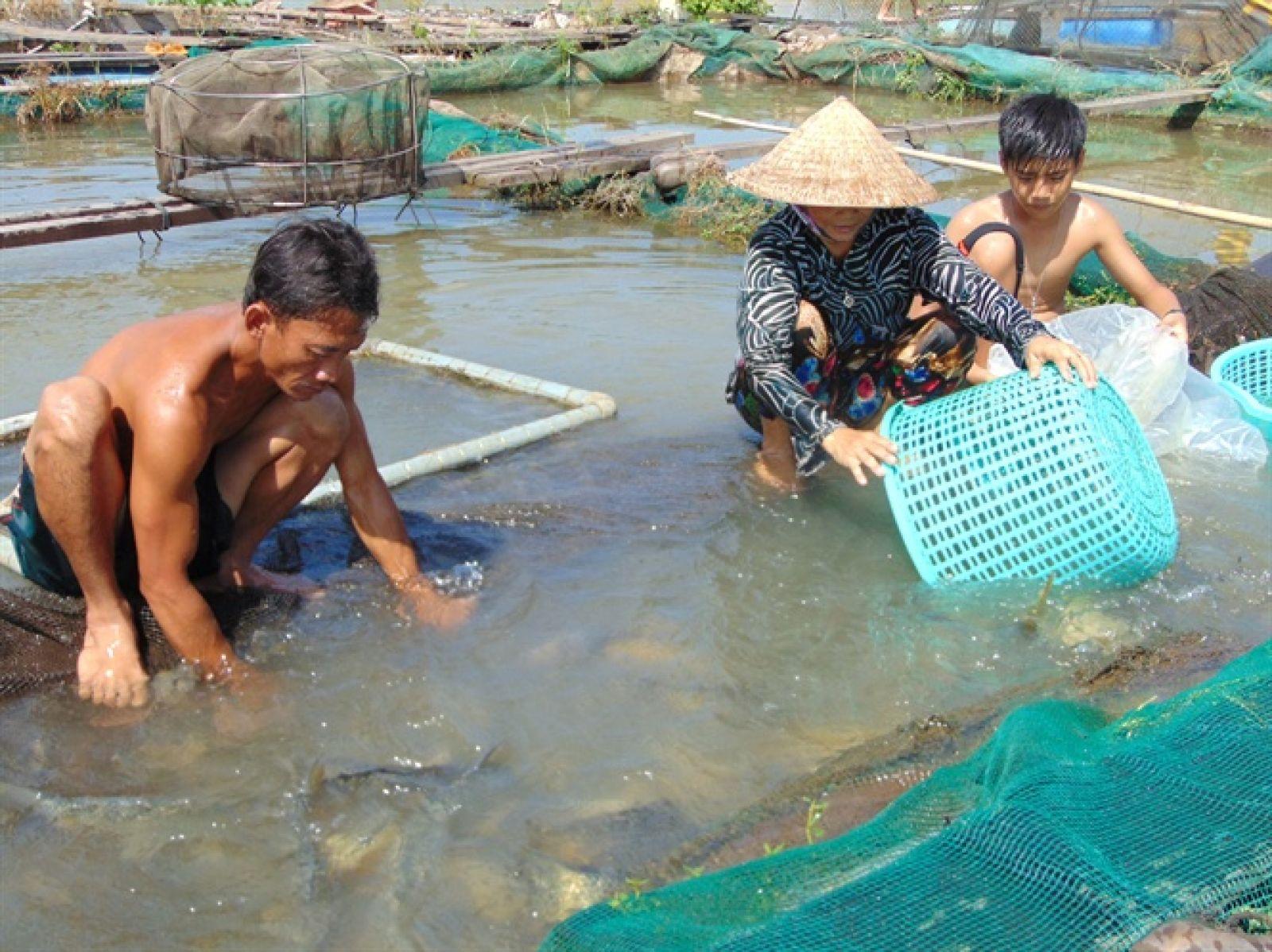 Thu hoạch cá chép giòn thương phẩm