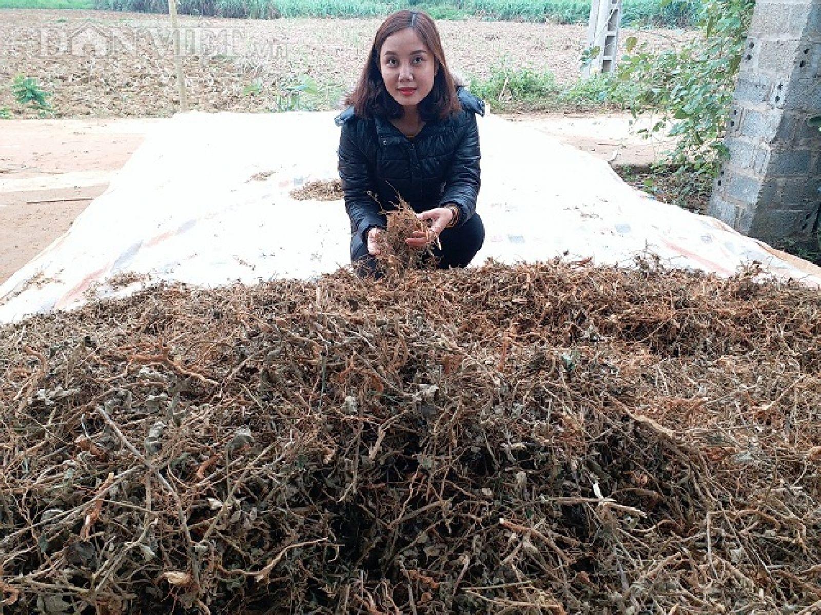 Trung bình một năm gia đình chị Dung thu hoạch được hơn 5 tấn cà gia khô và được bán với giá là 35 ngàn đồng/1kg.