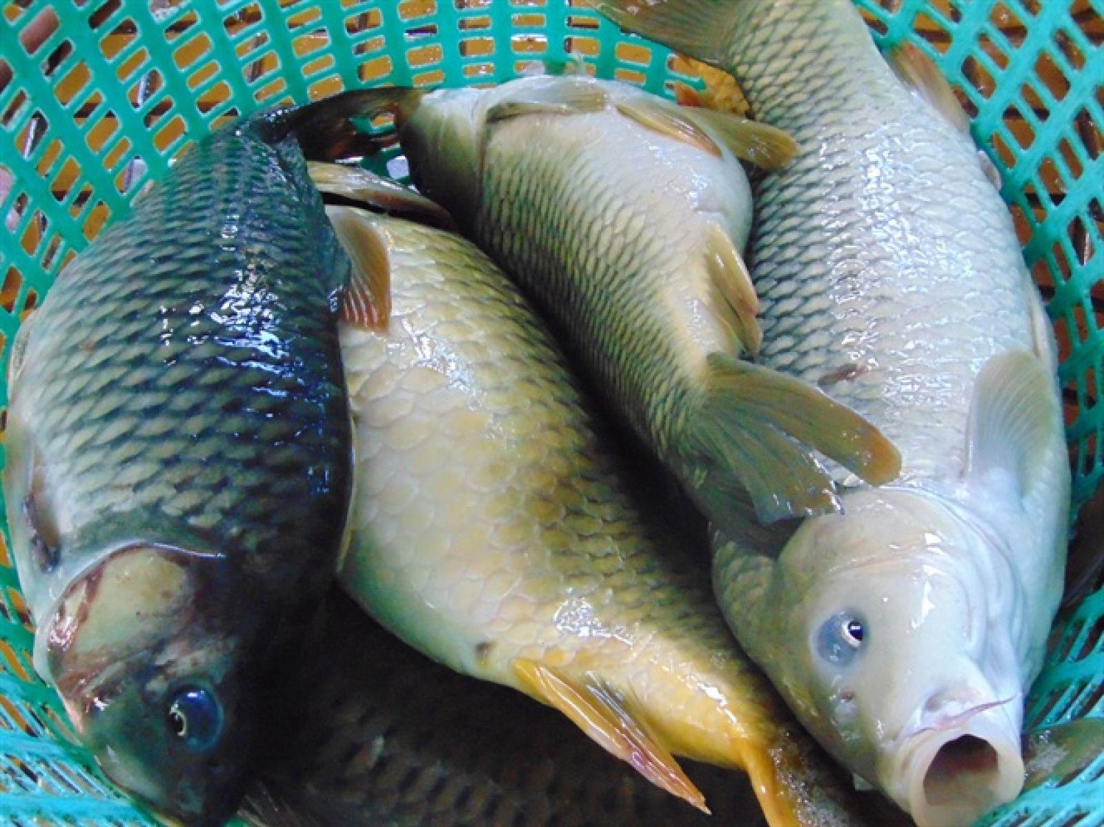 Cá chép giòn có giá từ 400 - 500 ngàn đồng/kg tại các nhà hàng đặc sản
