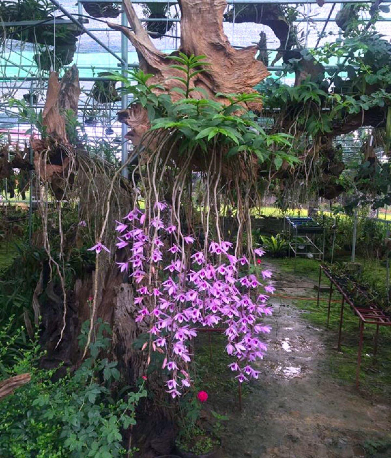 Những giỏ lan rừng hoa tím đẹp lung linh trong vườn lan Quốc Khánh.