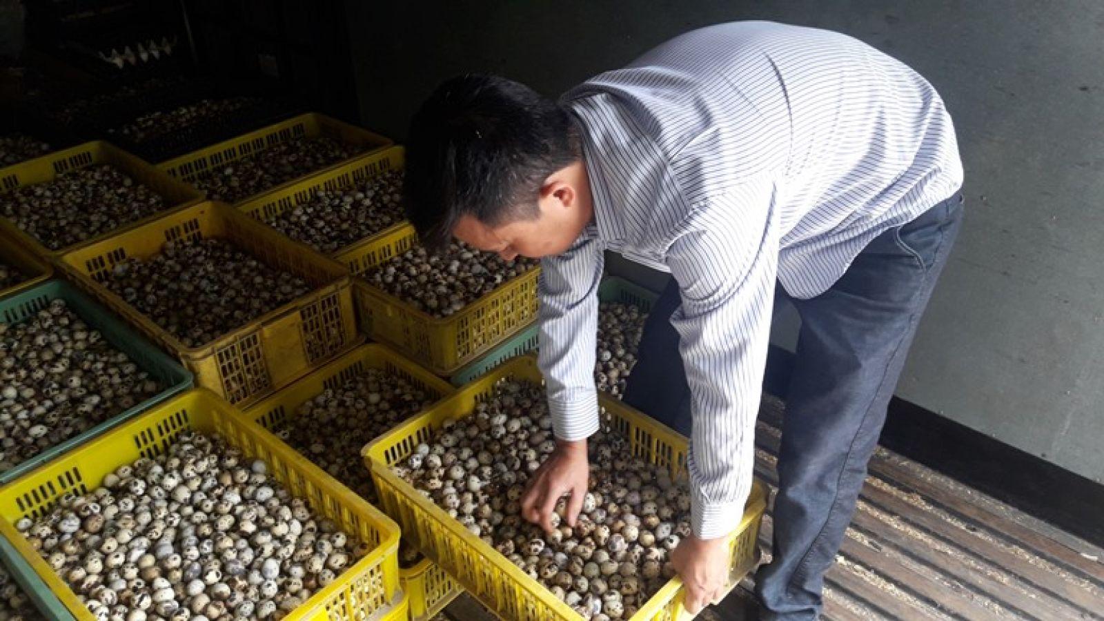 Anh Hạ Văn Nam kiểm tra trứng cút trước khi xuất bán.