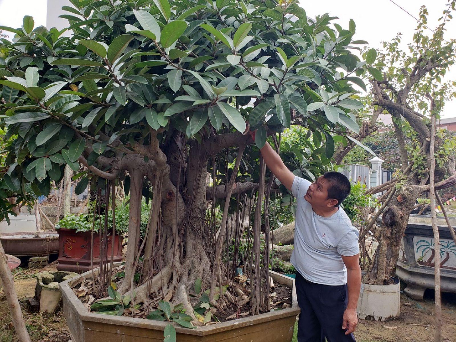 """Cây Đa Lông được anh Khoa """"săn"""" được và tạo thế từ cây nhỏ được trả trên 100 triệu đồng."""
