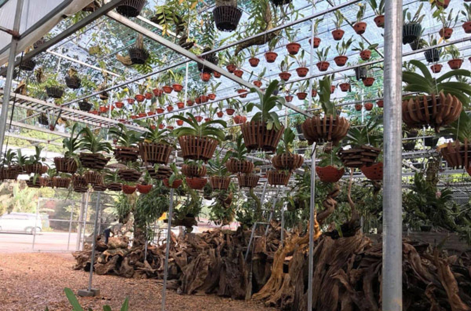Ngoài lan rừng thì vườn nhà anh Thắng còn có thêm cả lan công nghiệp để phục vụ nhu cầu của người chơi lan.
