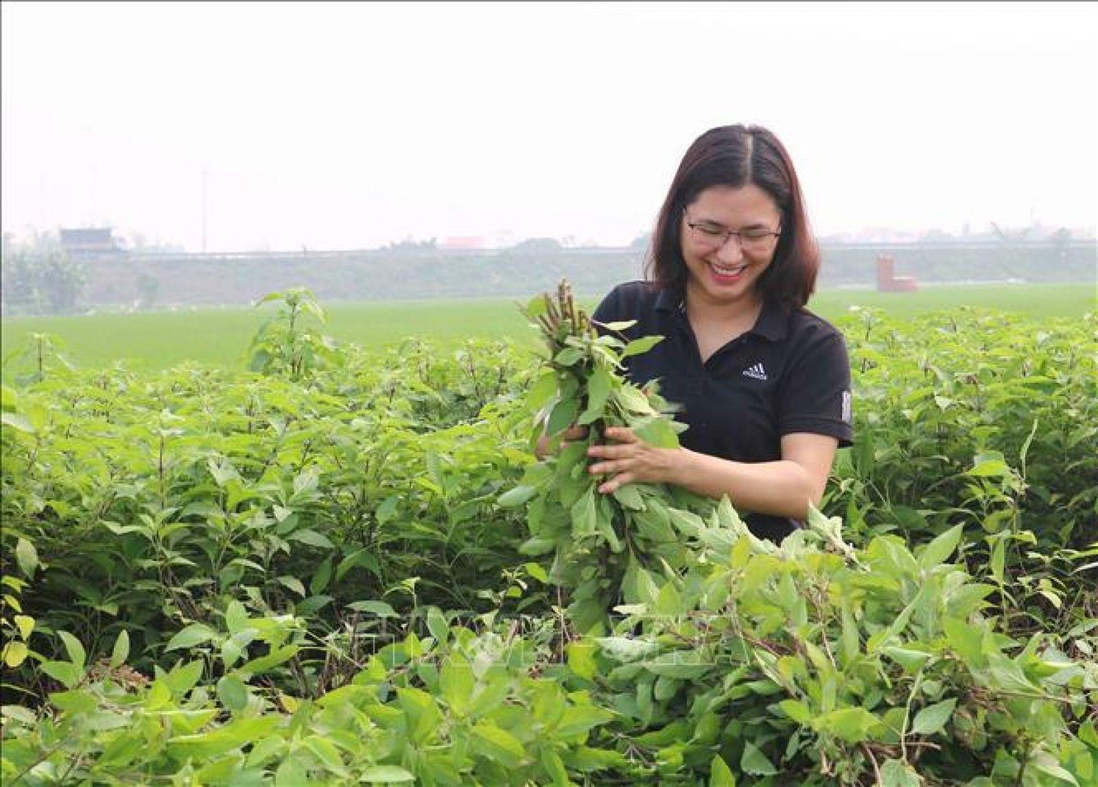 Vũ Thị Thu thu hoạch cây hương nhu để về chiết xuất ra các sản phẩm thảo dược. Ảnh: Thái Hùng/TTXVN