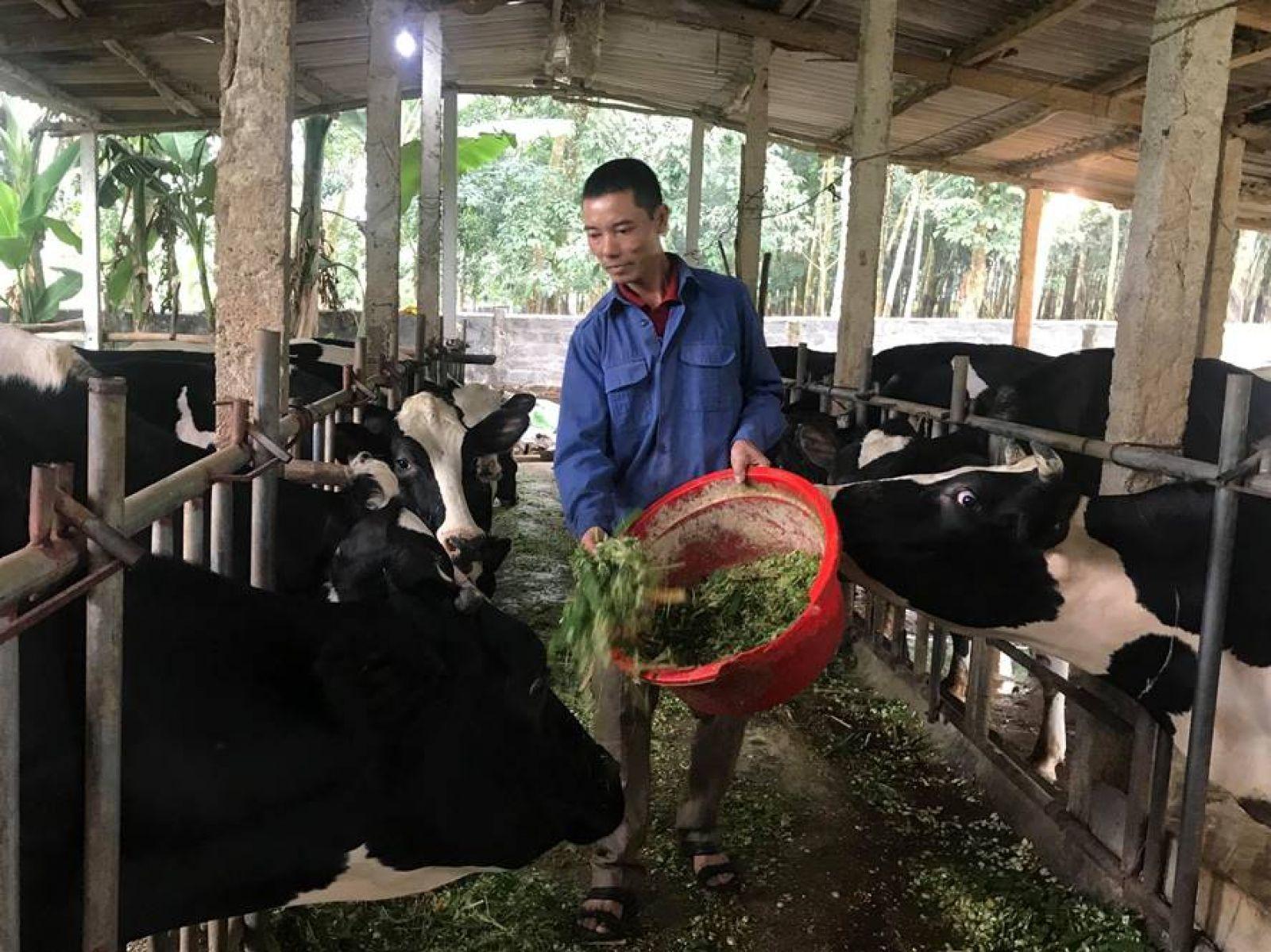 Để chăm sóc, nuôi dưỡng 23 con bò sữa của gia đình, anh Lê Minh Nghĩa đã mạnh dạn đầu tư trồng hơn 1 ha cỏ để cho bò đủ dinh dưỡng hàng ngày. Ảnh: CT