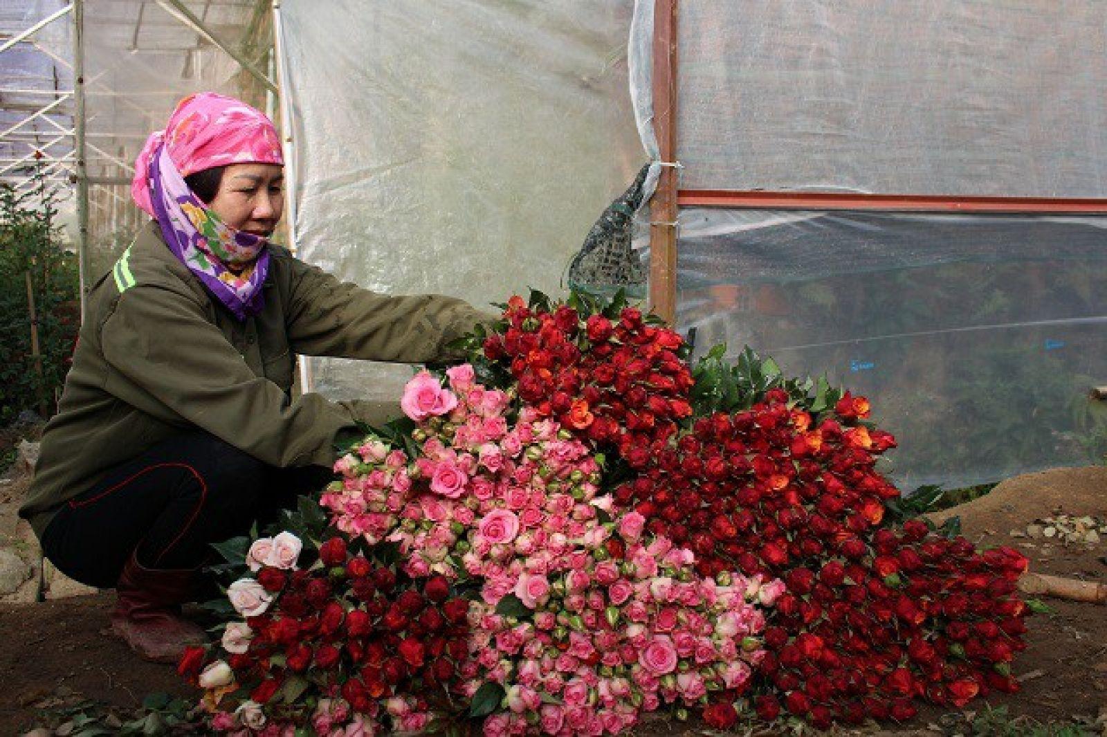 Bà Bốn bên những bó hoa hồng mang lại thu nhập cao cho gia đình bà và người dân trong vùng.