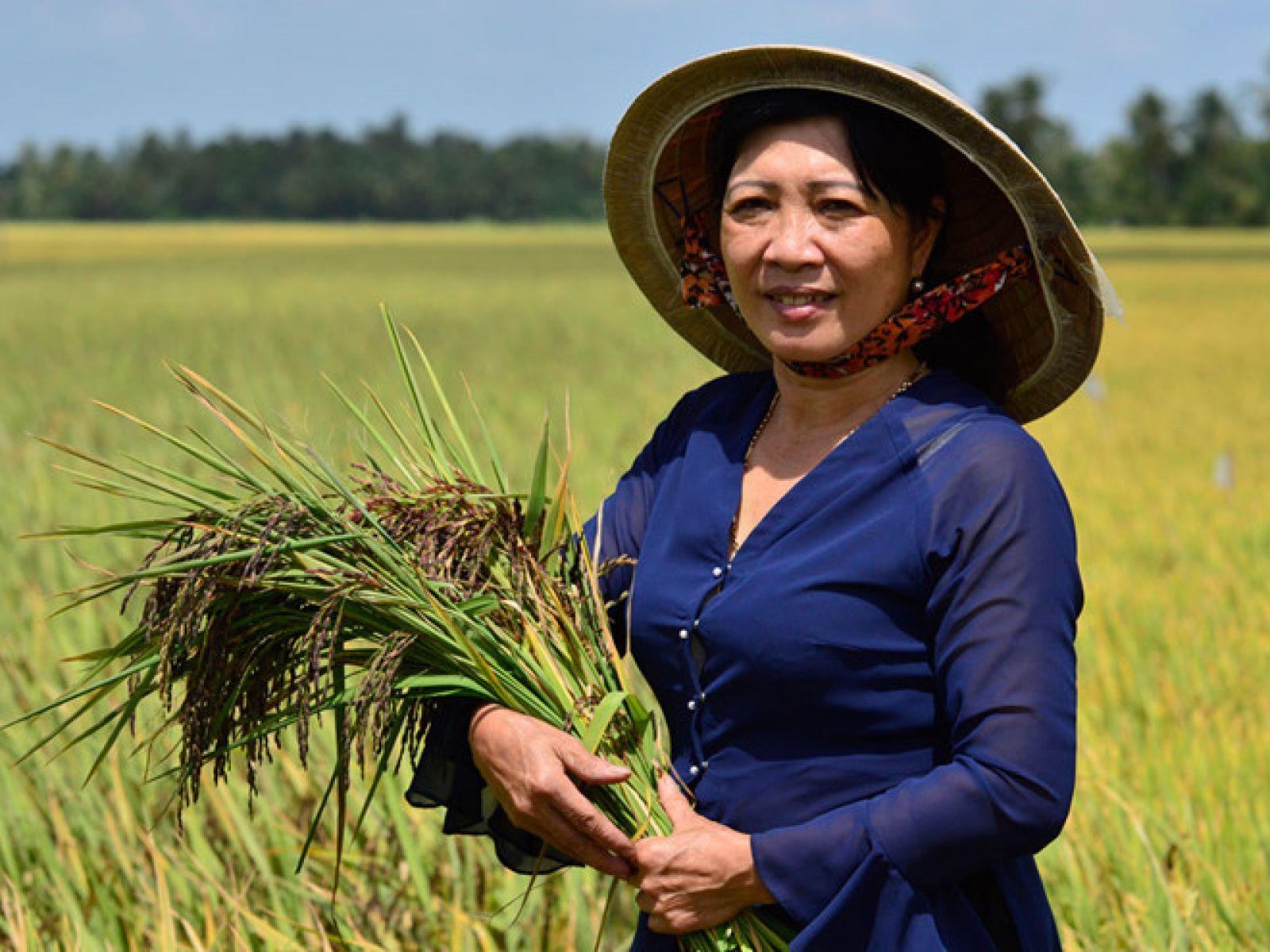 Ruộng lúa tím thảo dược được trồng theo hướng hữu cơ sinh học của bà Nga; ảnh Duy Tân