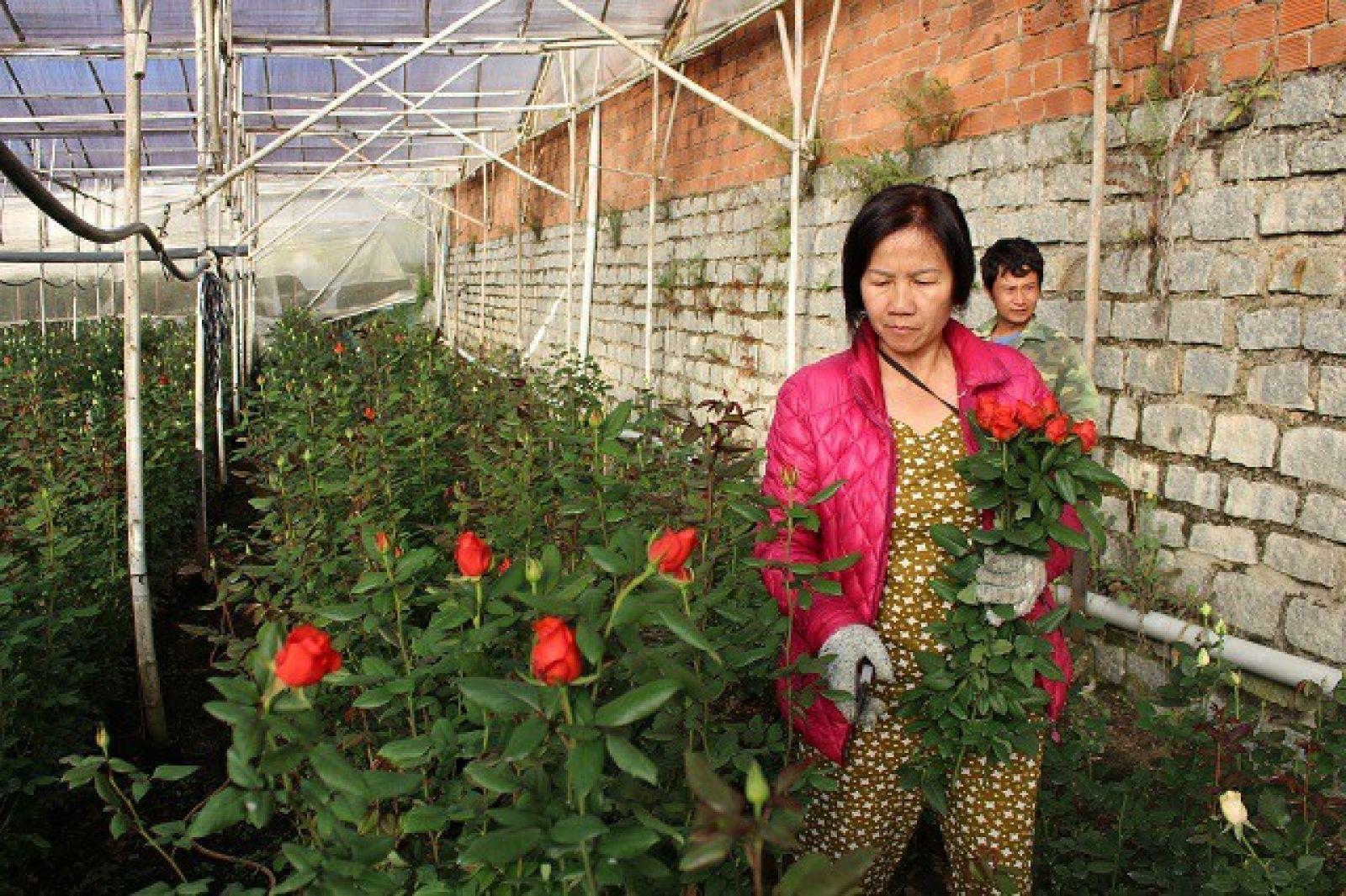 Hiện tại, huyện Lạc Dương đang có khoảng 100ha hoa hồng các loại được người dân chăm sóc.