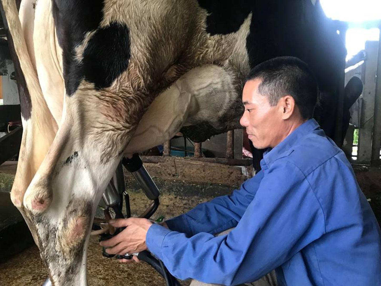 Để có thêm dinh dưỡng cho bò sữa anh Lê Minh Nghĩa còn trộn ngô, đầu cá khô vào cỏ để cho đàn bò ăn. Ảnh: CT
