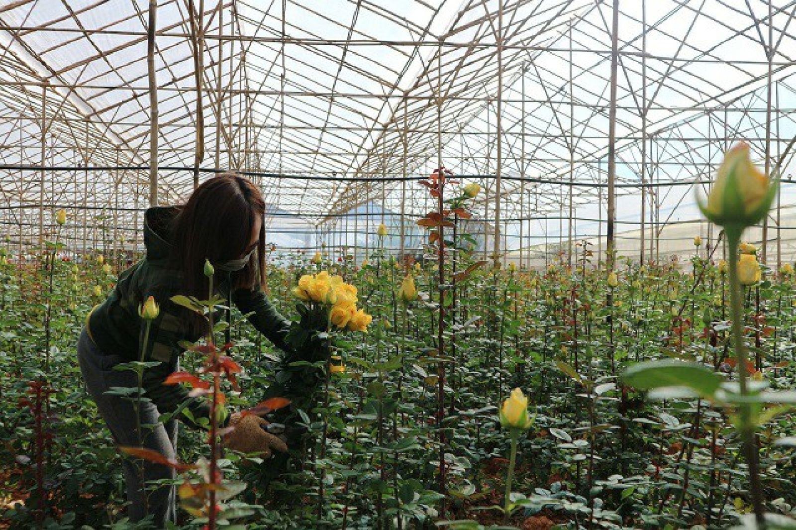 Công việc thu hoạch cũng như mua bán hoa hồng giáp ngày Quốc tế Phụ nữ 8/3 tại Lạc Dương trở nên nhộn nhịp.
