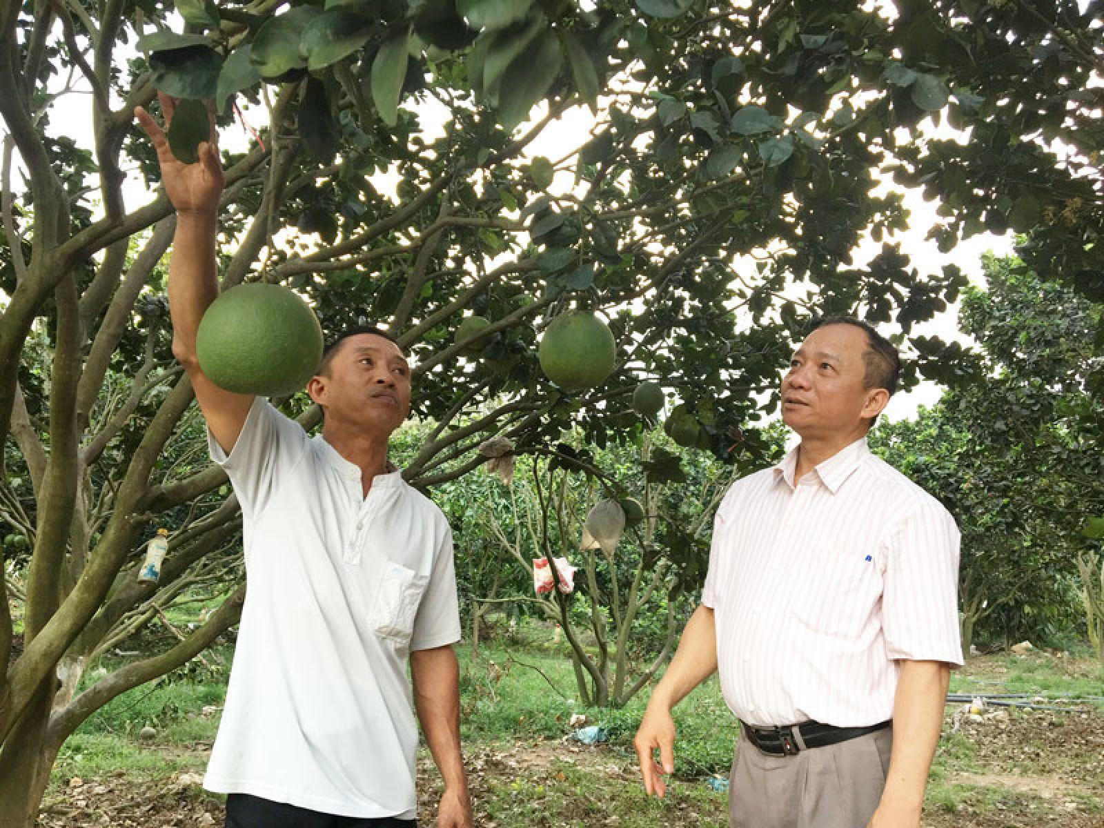Anh Lê Văn Hoàng (trái) giới thiệu về mô hình trồng bưởi da xanh, phía dưới tán anh thả heo rừng. Vườn bưởi da xanh của anh đang cho thu nhập gần 1 tỷ đồng/năm.