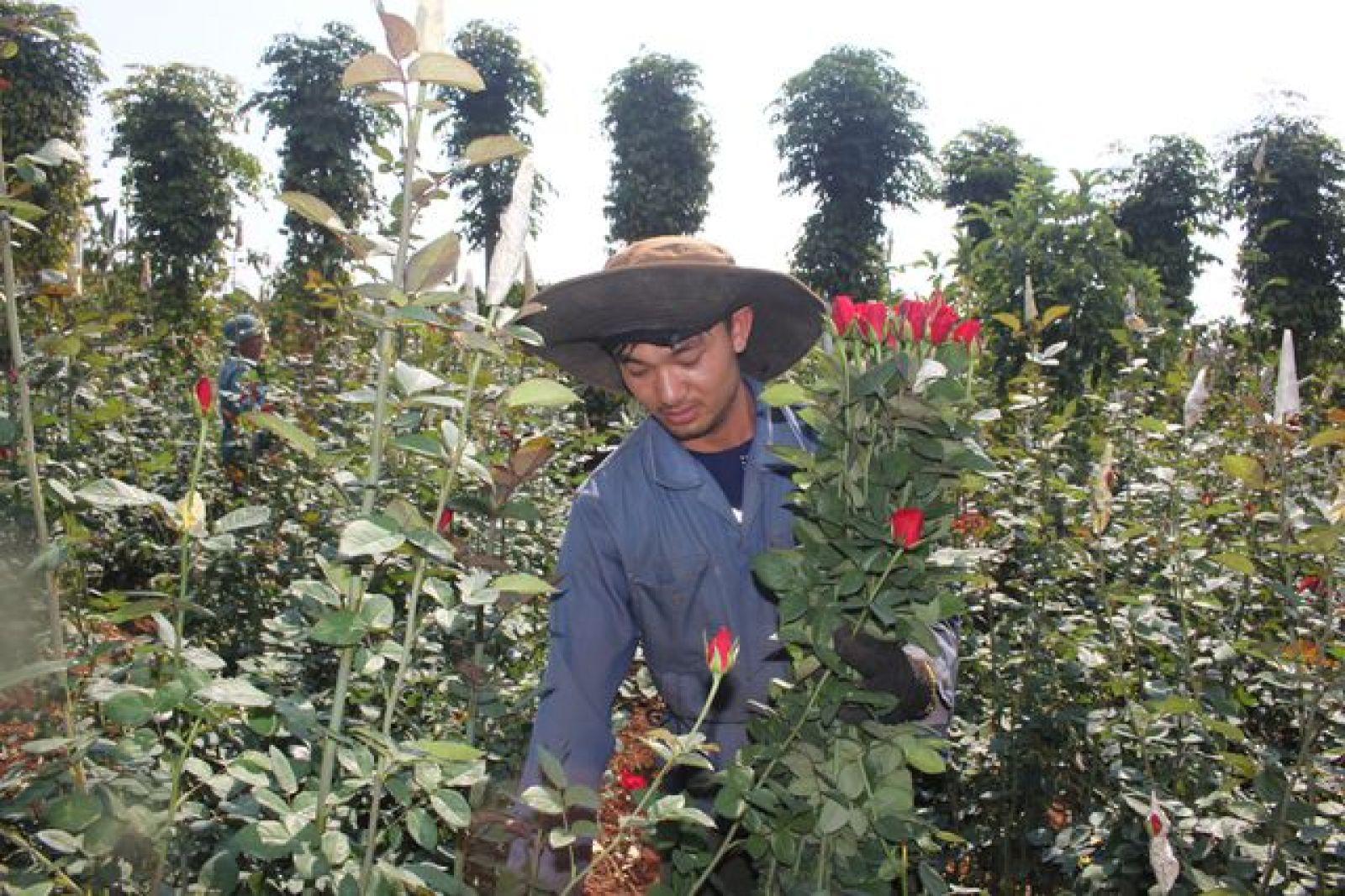 Cây hoa hồng Bắc đã mang lại thu nhập hàng trăm triệu mỗi năm cho anh Quyết