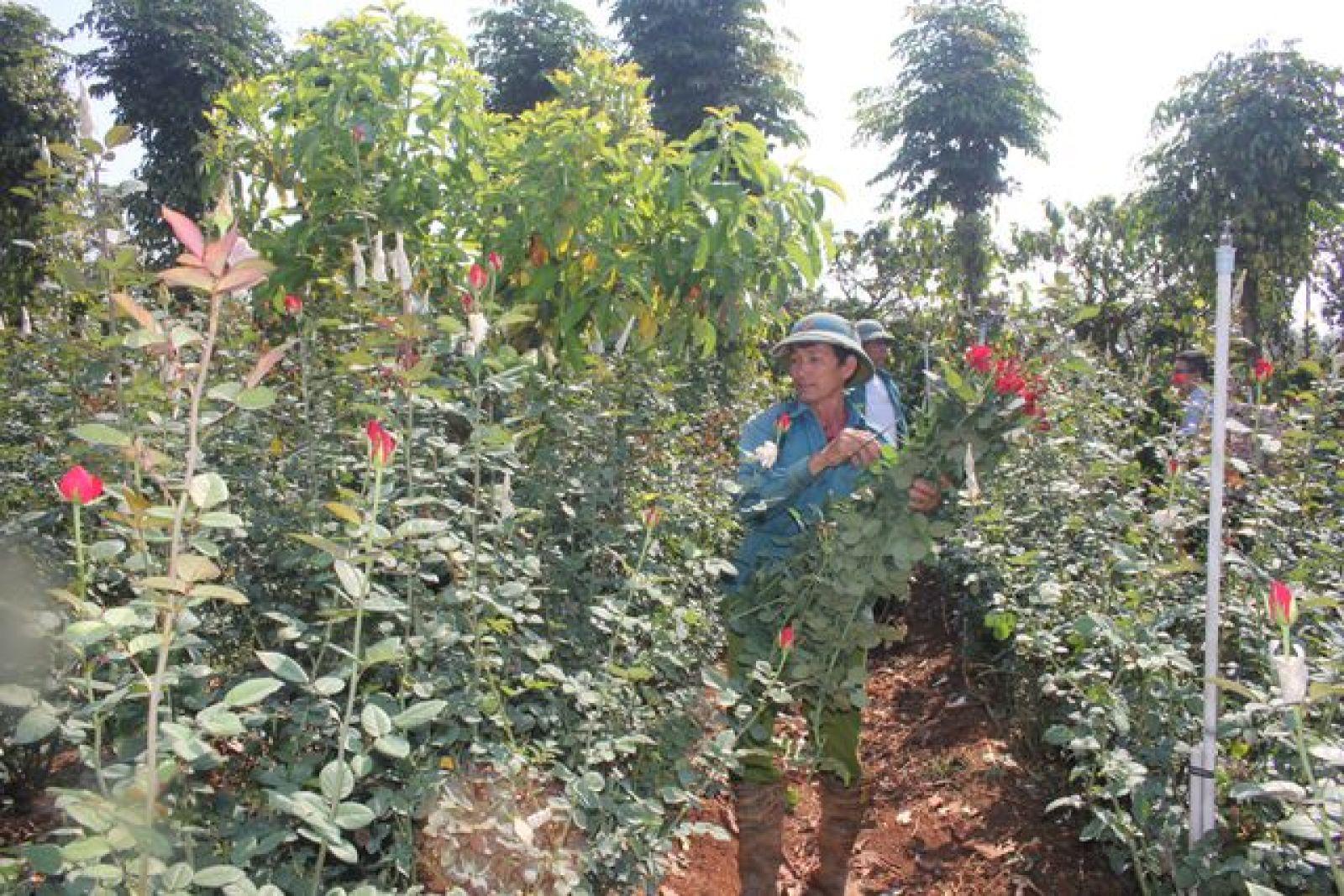 Vườn hồng rộng hơn 1ha của anh Đặng Quang Quyết