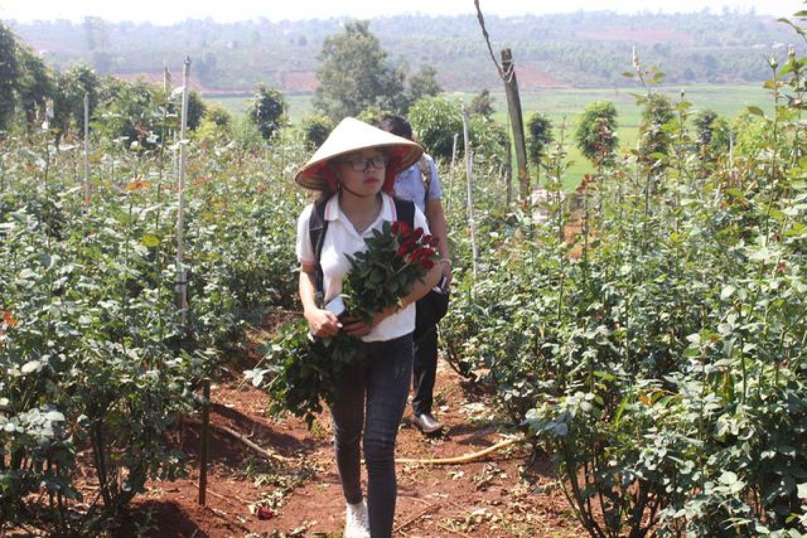 Nhiều du khách đến tham qua, chiêm ngưỡng vườn hồng xứ Bắc trên Cao Nguyên