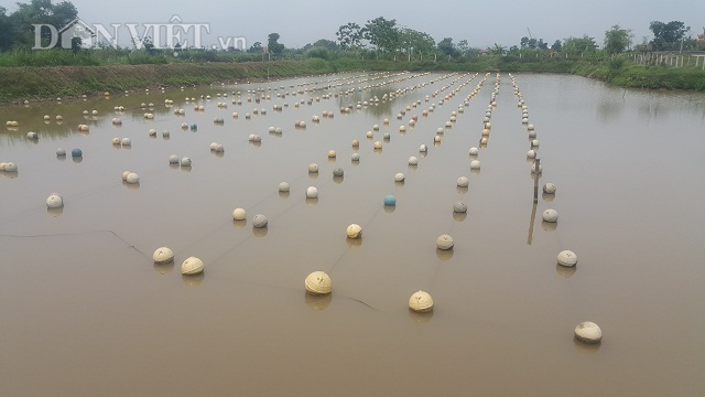 Cận cảnh mô hình nuôi trai nước ngọt lấy ngọc của anh Cầu tại thôn Phú Hạ, xã Khánh An rộng hơn 1,5 ha.