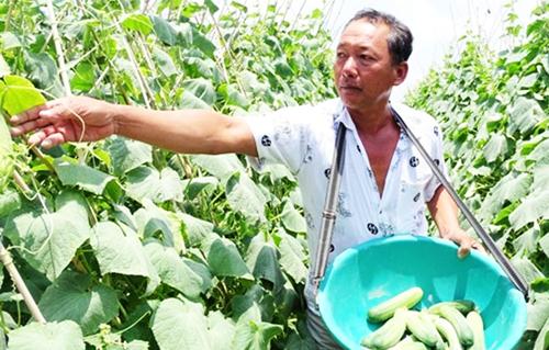 Vườn dưa leo trên đất ruộng của ông Chẳng cho thu nhập cao mỗi năm. Ảnh: Trúc Đào.