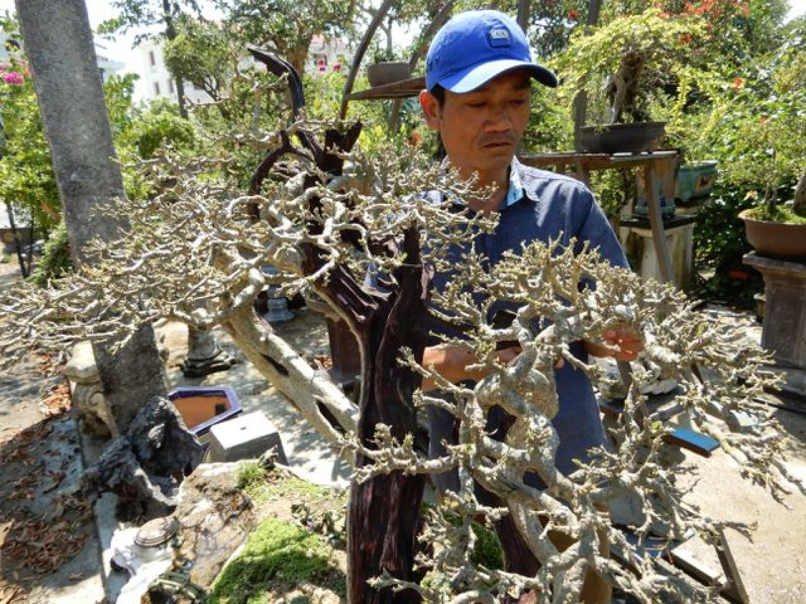 Vườn cây cảnh của anh Thuấn có nhiều cây bonsai dáng đẹp nhờ bàn tay uốn nắn của anh
