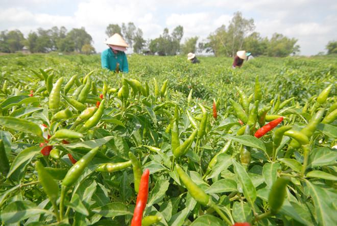 Nông dân ĐBSCL phấn khởi vì thu hoạch ớt bán được giá cao /// ĐẶNG NGỌC