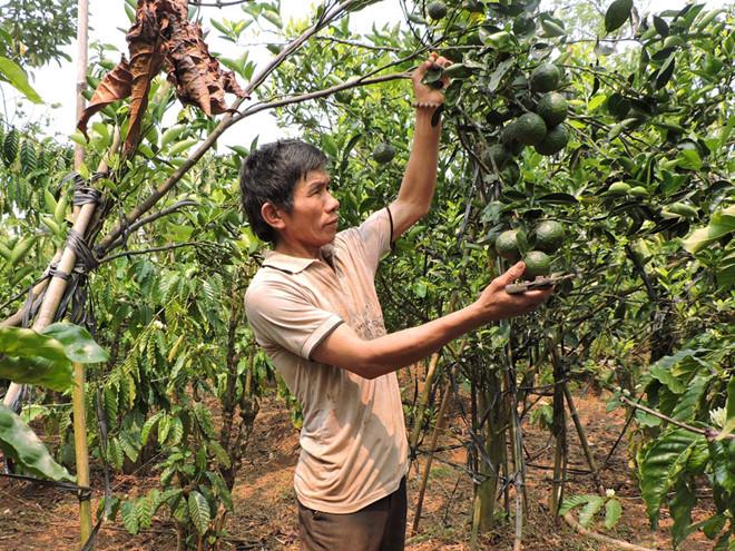 Vườn cà phê xen cam, sầu riêng, bơ của anh Quản Thanh Thanh /// T.H