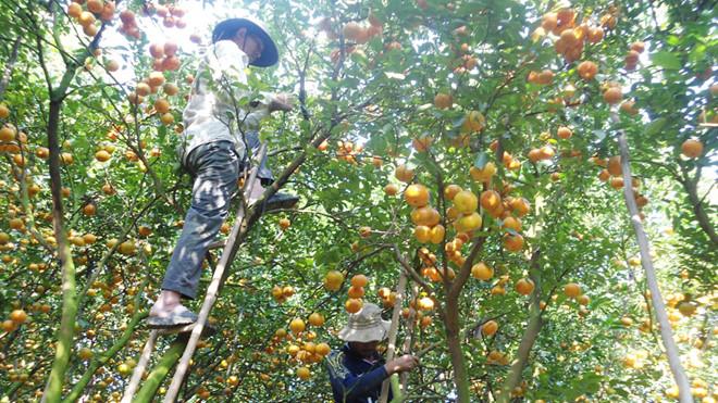 Ước sản lượng quýt hồng Lai Vung sụt giảm hơn 16.000 tấn trong dịp Tết Canh Tý 2020 /// Trần Ngọc