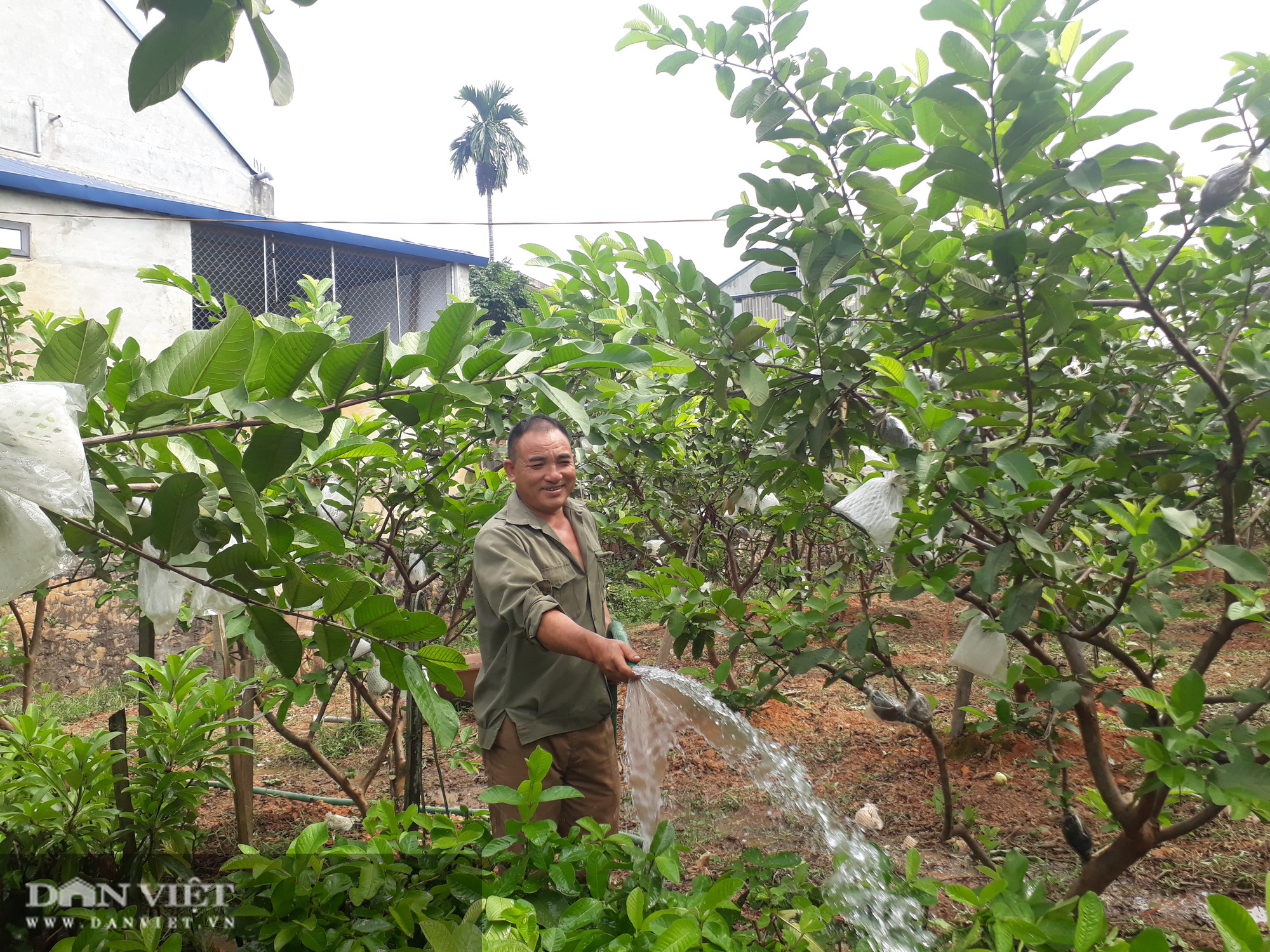 Trồng cây ra quả ngọt quanh năm, vợ chồng anh nông dân Thái Nguyên thu hàng trăm triệu đồng mỗi năm - Ảnh 7.