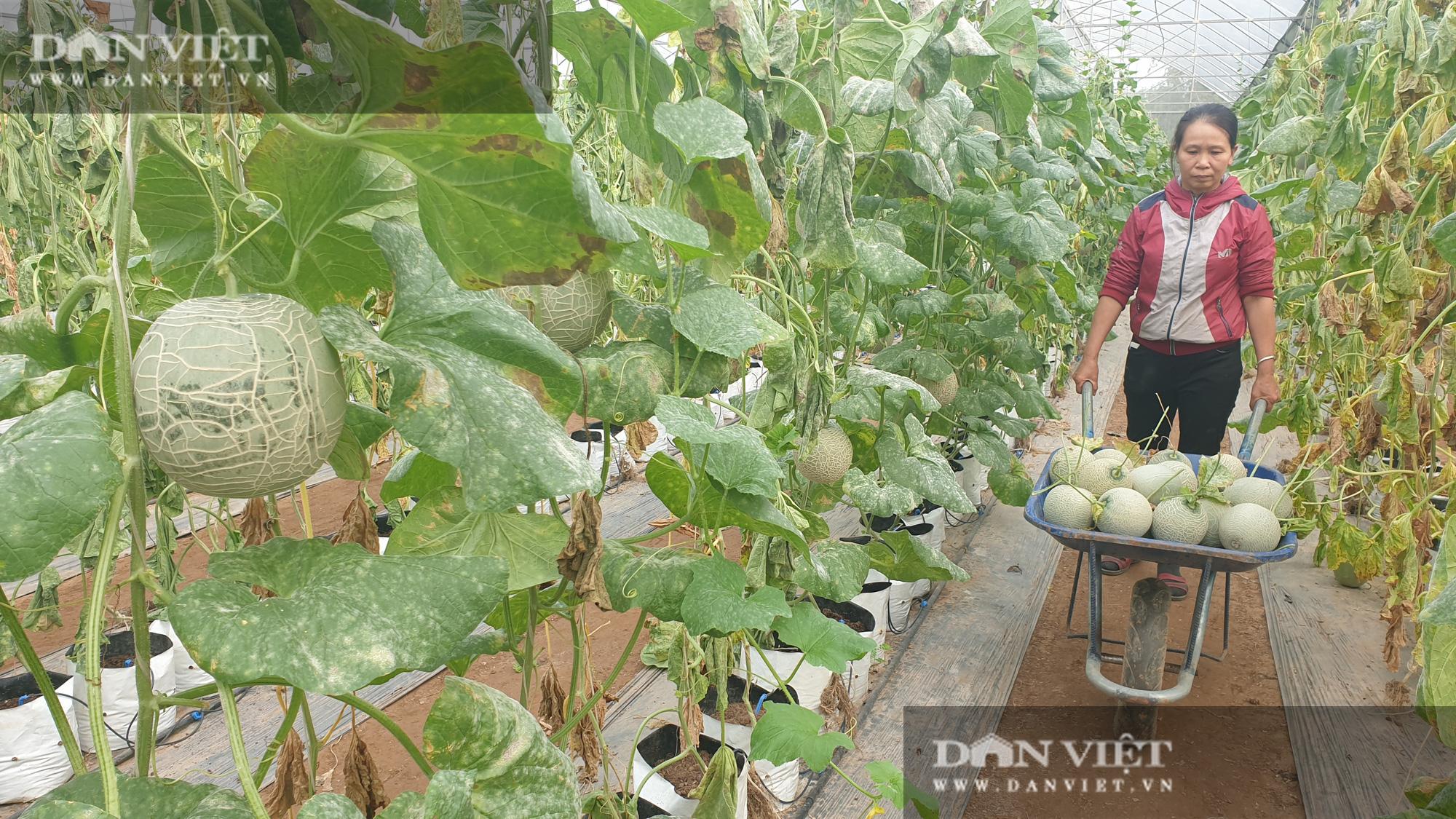 Thái Bình: Đam mê trồng dưa công nghệ cao, U50 bỏ túi hơn nửa tỷ đồng/năm - Ảnh 1.