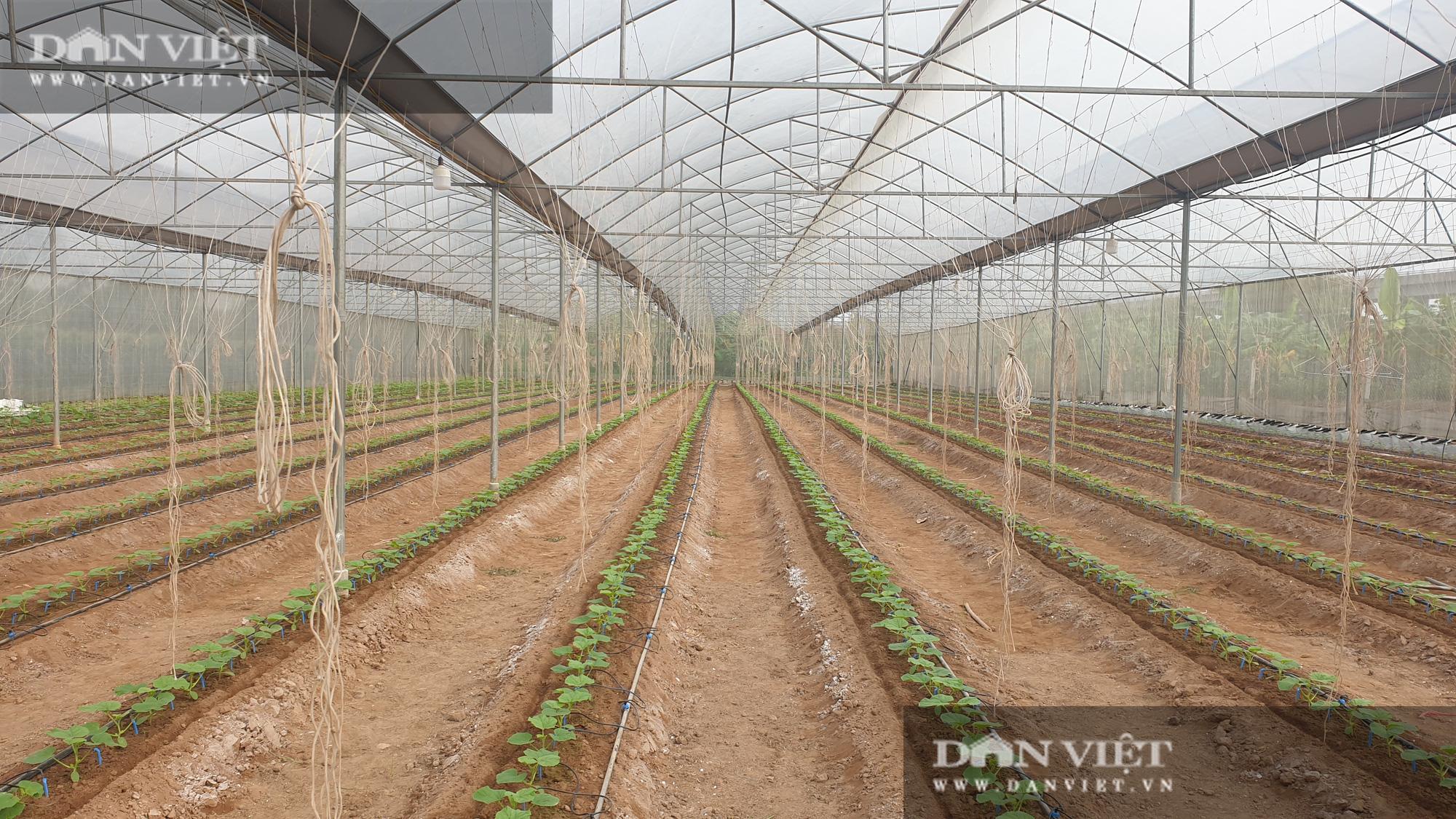 Thái Bình: Đam mê trồng dưa công nghệ cao, U50 bỏ túi hơn nửa tỷ đồng/năm - Ảnh 2.