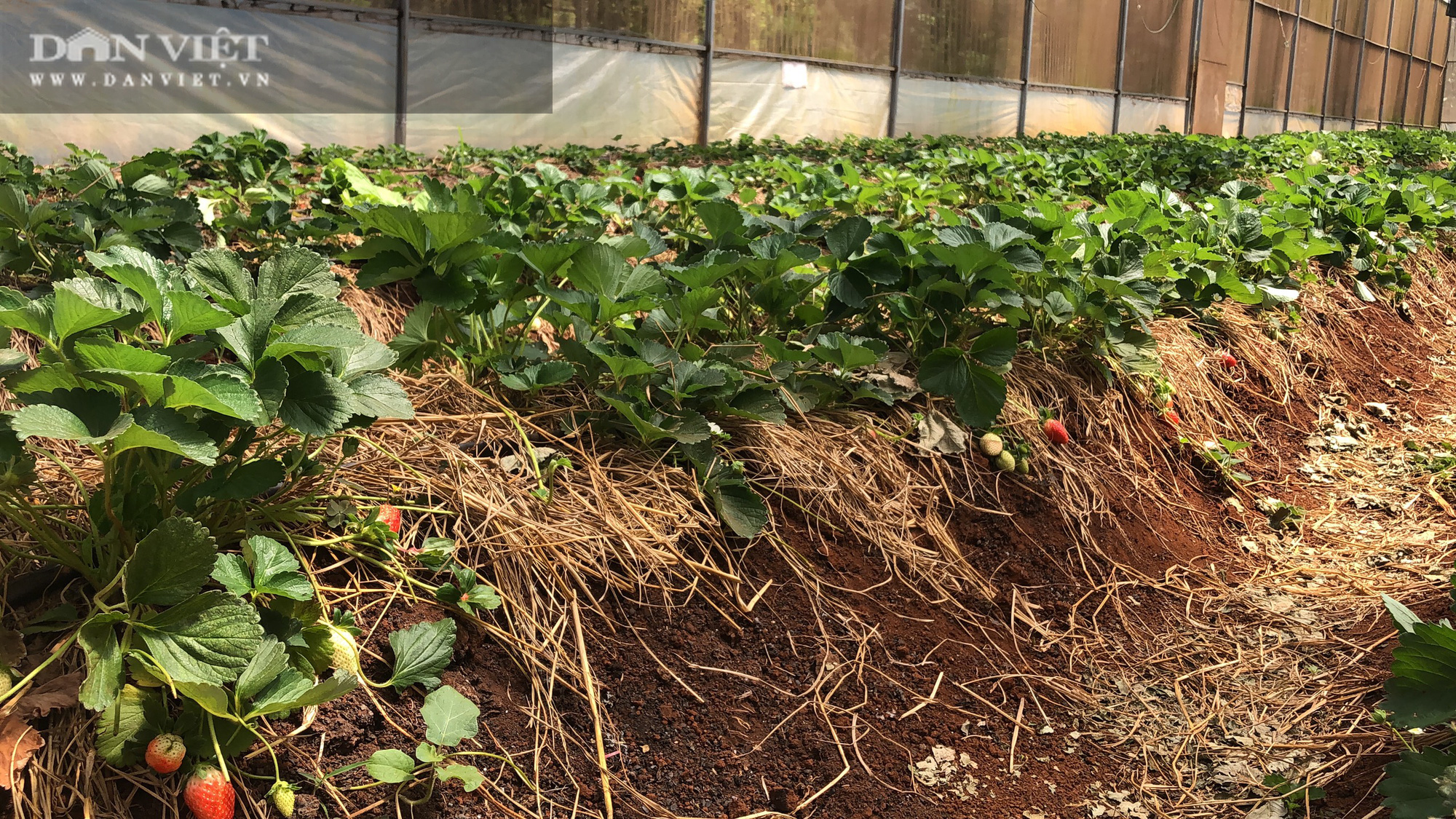Kỹ sư 8X đánh liều trồng giống dâu lạ, làm 2 vụ đã thu hồi vốn đầu tư ban đầu - Ảnh 3.