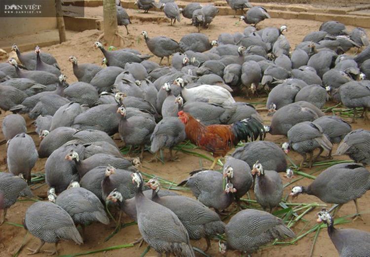 Lai Châu: Nuôi 500 con, nhìn xa tưởng là chim, lại gần hóa ra gà, anh nông dân thu vài trăm triệu mỗi năm - Ảnh 2.