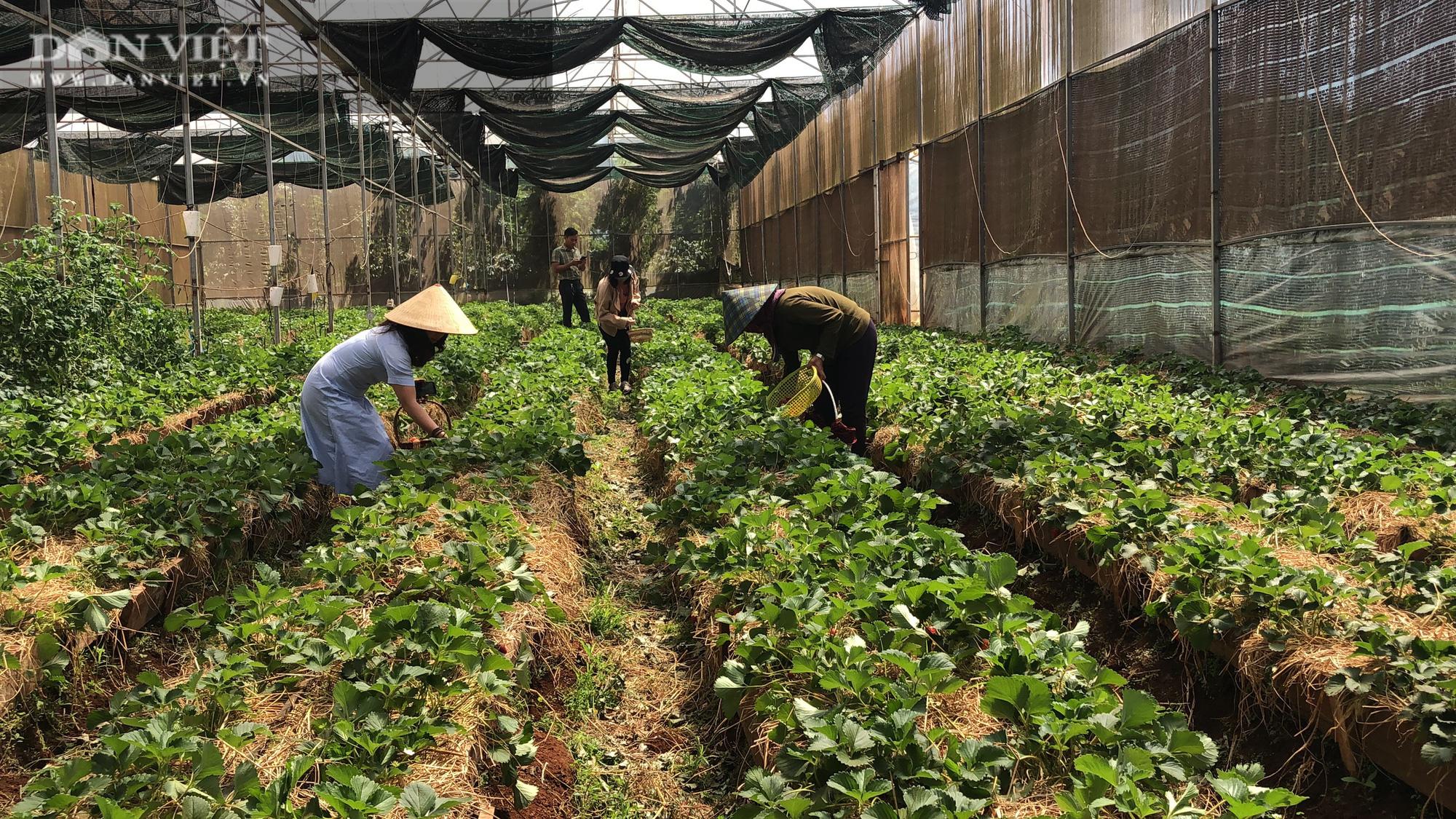Kỹ sư 8X đánh liều trồng giống dâu lạ, làm 2 vụ đã thu hồi vốn đầu tư ban đầu - Ảnh 1.