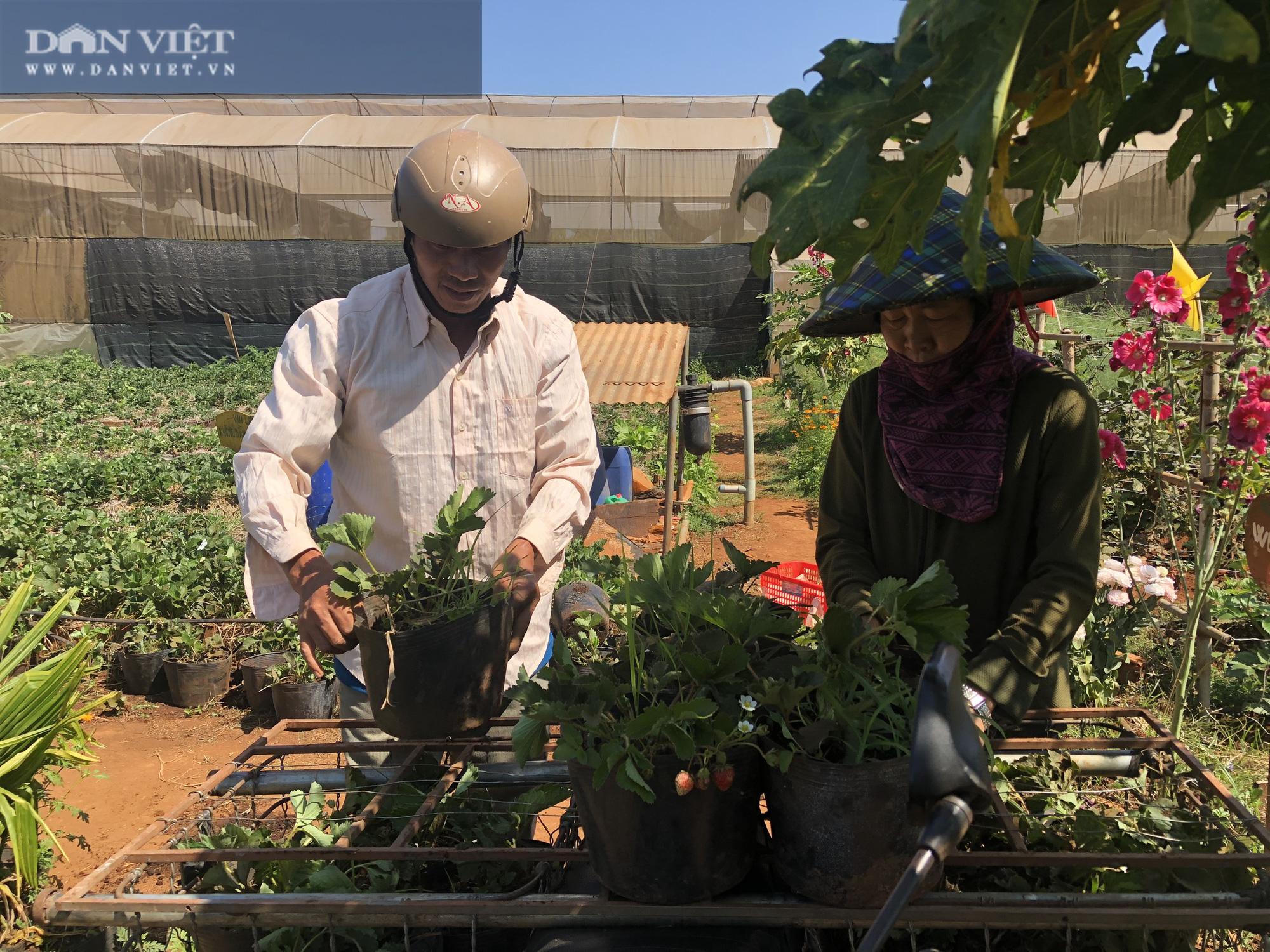Kỹ sư 8X đánh liều trồng giống dâu lạ, làm 2 vụ đã thu hồi vốn đầu tư ban đầu - Ảnh 10.