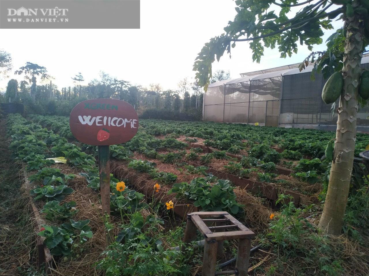 Kỹ sư 8X đánh liều trồng giống dâu lạ, làm 2 vụ đã thu hồi vốn đầu tư ban đầu - Ảnh 4.