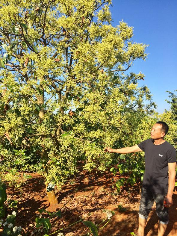 """Đắk Lắk: Bỏ cà phê già, ông nông dân này bèn trồng """"lung"""" 2 cây gì mà thu tiền tỷ, ai cũng tấm tắc khen? - Ảnh 1."""
