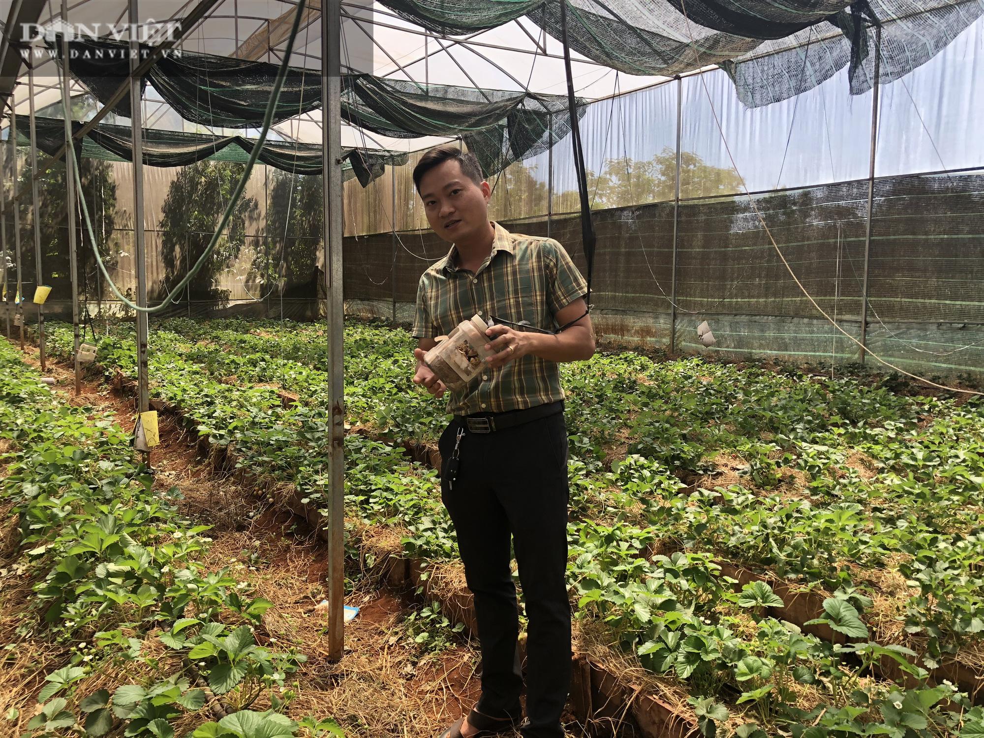 Kỹ sư 8X đánh liều trồng giống dâu lạ, làm 2 vụ đã thu hồi vốn đầu tư ban đầu - Ảnh 7.