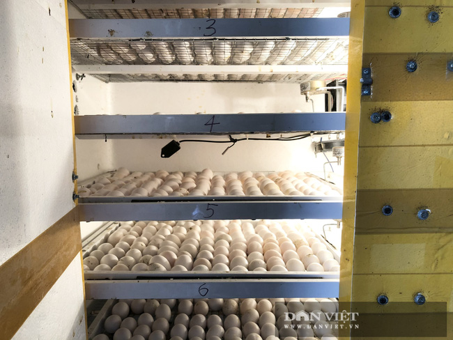 Hà Nội: Nuôi loài chim đẻ sòn sòn, mỗi ngày bán 3.000 con, một nông dân thu lãi 1 tỷ đồng/năm - Ảnh 5.